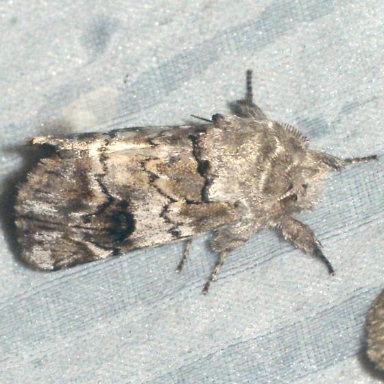 Plain Schizura - Schizura apicalis - male