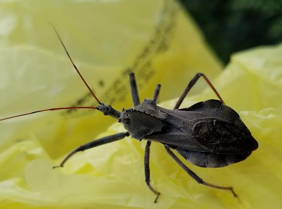 what is this cool insect? - Arilus cristatus