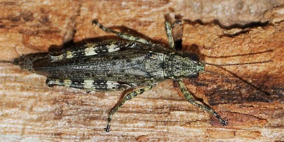 Grasshopper - Melanoplus punctulatus - female