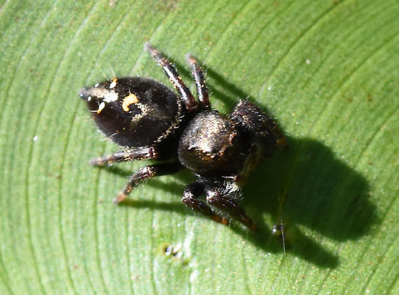 Spider 1 - Phidippus audax
