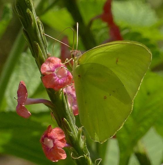 Phoebis sennae
