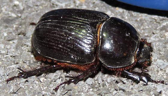 Scarab - Xyloryctes jamaicensis