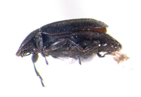 Clypastraea lugubris