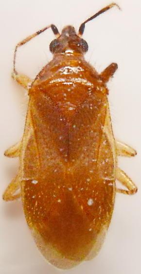 W154 - Lasiochilus pallidulus
