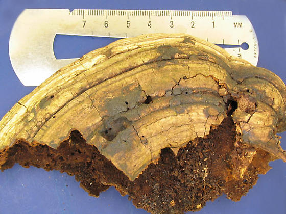Old shelf fungus - Bolitotherus cornutus