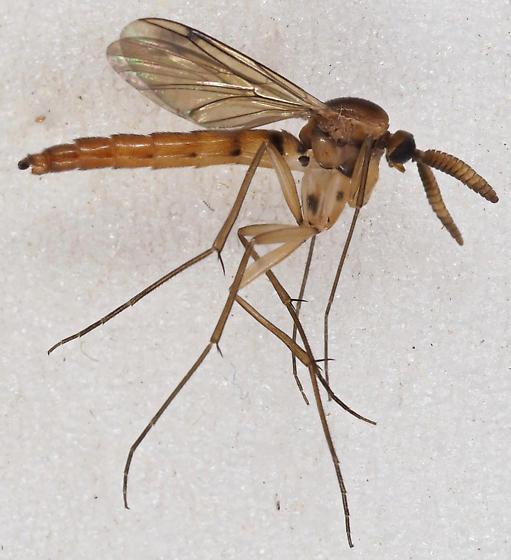 Unknown Fly - Keroplatus