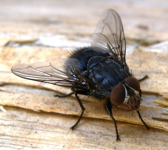Blue blowfly - Calliphora vicina - male