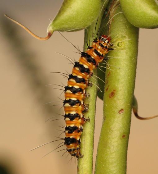 Caterpillar - Utetheisa ornatrix