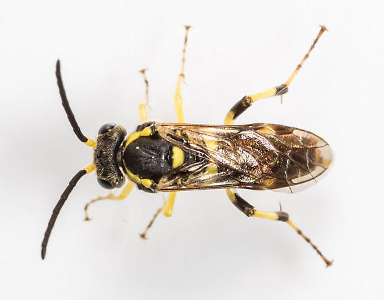 Macrophya bifasciata ? - Macrophya nigristigma