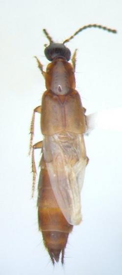 Staphy 05 - Philonthus rufulus