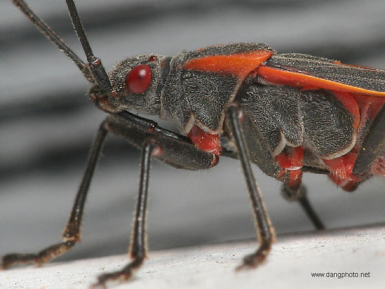 Leaffooted Bug ? - Boisea trivittata