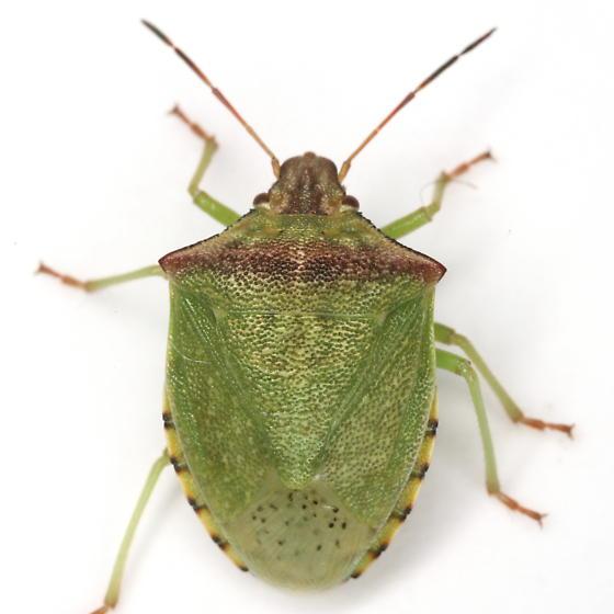 Thyanta calceata (Say) - Thyanta calceata