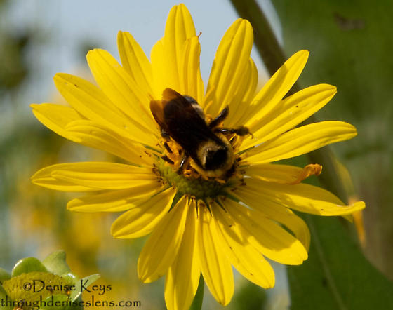 Rusty-patched Bumblebee - Bombus affinis