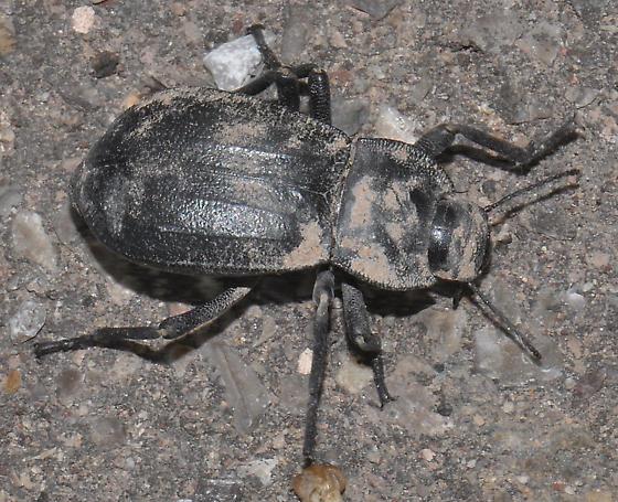 Darkling Beetle - Stenomorpha furcata? - Stenomorpha obliterata
