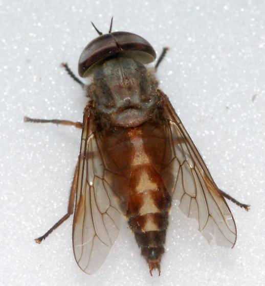 Docile Horse Fly - Tabanus petiolatus - male