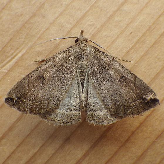 Erebidae: Zanclognatha? - Zanclognatha laevigata