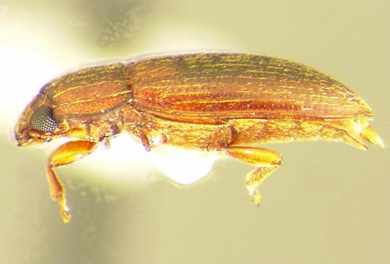 Anchorius lineatus Casey - Anchorius lineatus