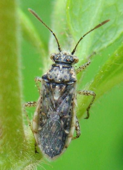 Another Arhyssus - Brachycarenus tigrinus