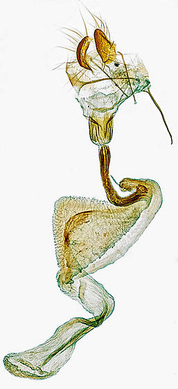 genitalia - Autographa californica - female