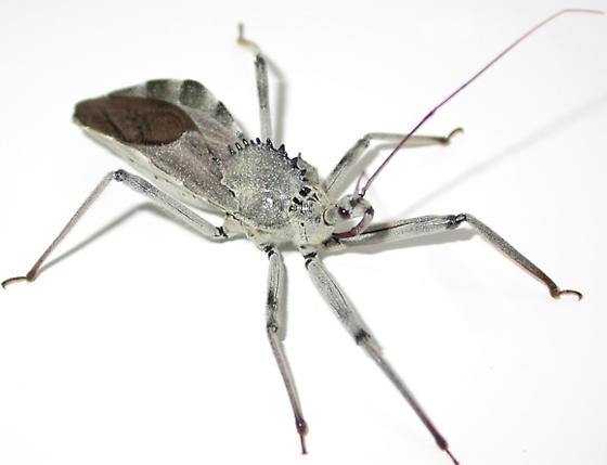 Florida WheelBug - Arilus cristatus