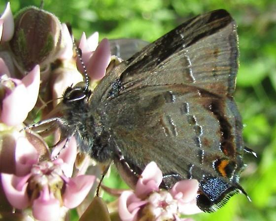 butterfly 2 - Satyrium calanus