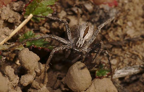 Running crab spider (Thanatus formicinus)? - Thanatus