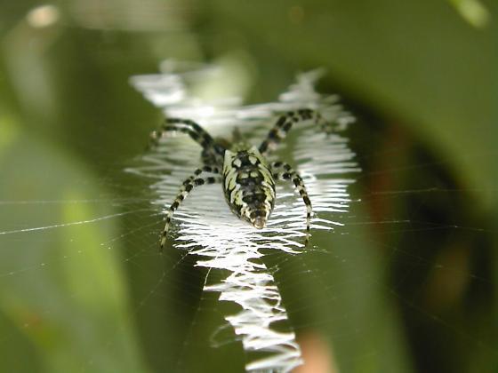 A.aurantia & web - Argiope aurantia - female