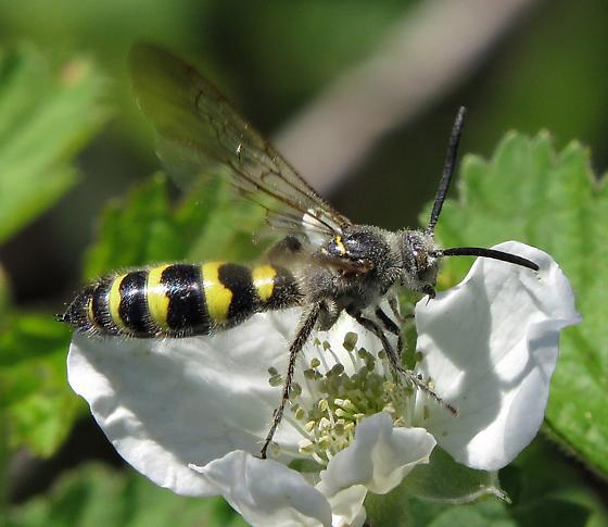 Scoliid - Dielis plumipes - male