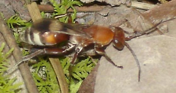 Psorthaspis legatus - Psorthaspis legata