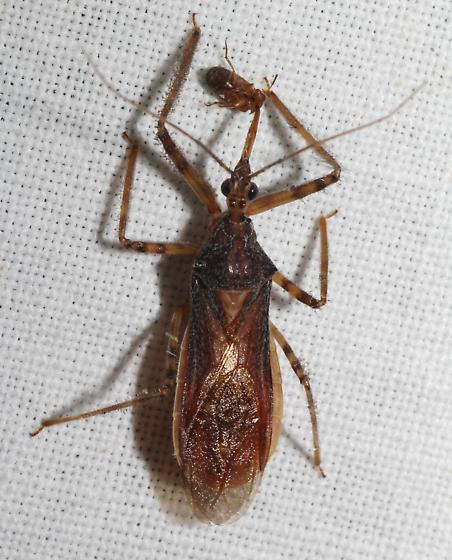 Assassin Bug again - Castolus ferox