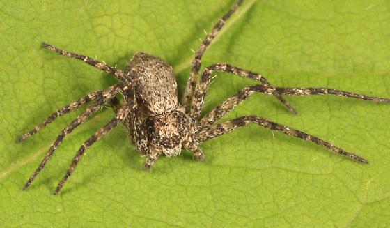 Running Crab Spider - Philodromus praelustris