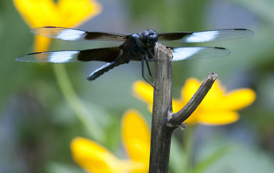luctuosa - Libellula luctuosa - male
