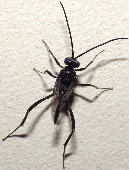 Ensign Wasp - Evania appendigaster