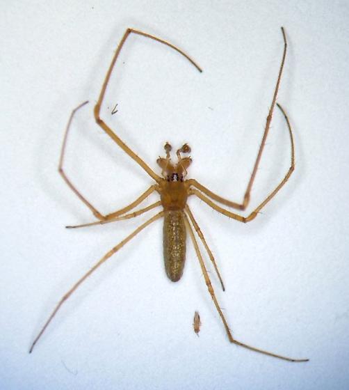KY spider 19 - Tetragnatha laboriosa - male