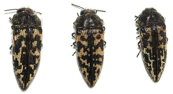 Acmaeodera - Acmaeodera cuneata - male - female