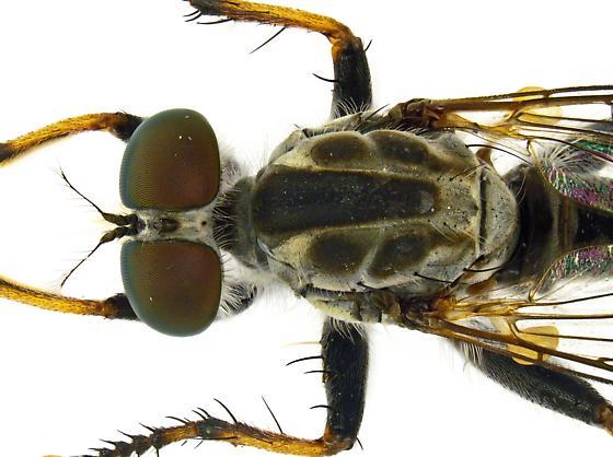 Male, Asilinae - Ommatius - male