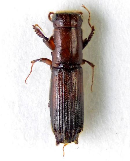 Platypodinae - Oxoplatypus quadridentatus - male