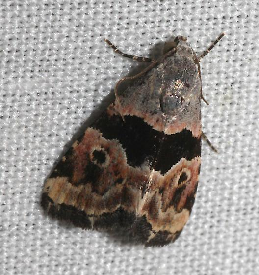 Cobubatha Moth 2 - Cobubatha n-sp