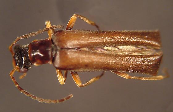 Podabrus laevicollis (Kirby) - Dichelotarsus laevicollis