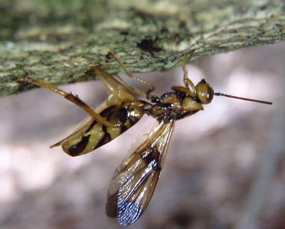 Ibaliid Ovipositing - Ibalia anceps - female