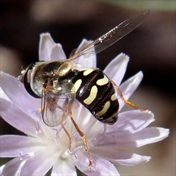 Syrphid fly? - Eupeodes volucris