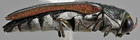 Agrilus pulchellus