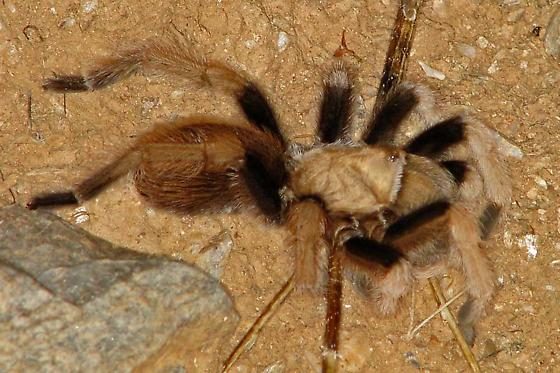 Sonoran Desert Spider, hunting from a hole - Aphonopelma