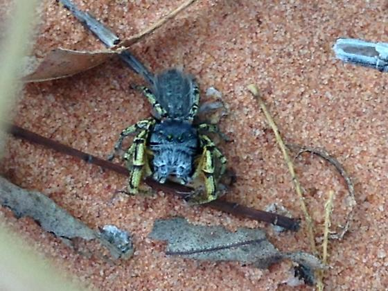 Unknown jumping spider ? - Phidippus mystaceus