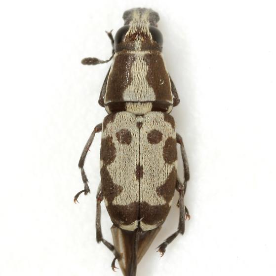 Gymnognathus triangularis Valentine - Gymnognathus triangularis