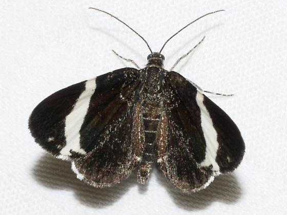 White-striped Black - Trichodezia albovittata