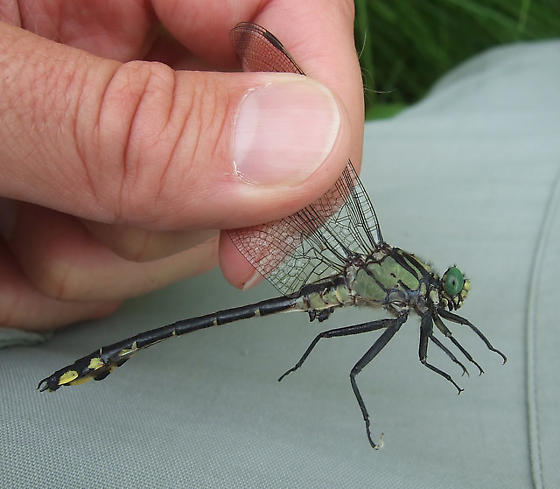 Splendid Clubtail - Gomphurus lineatifrons - male