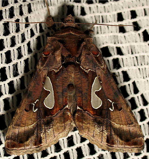 Moth ID request - Megalographa biloba