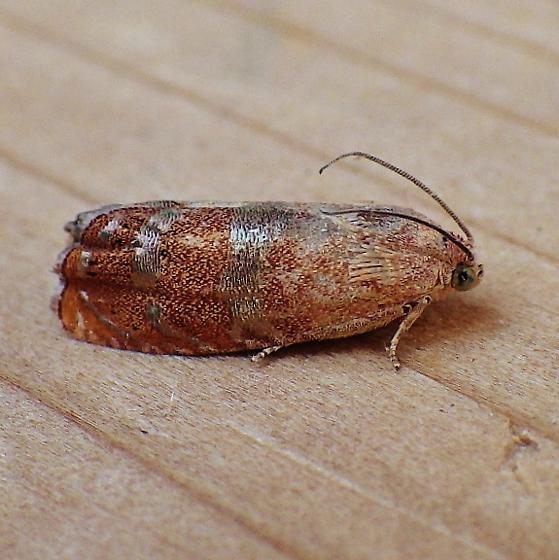 Tortricidae: Cydia latiferreana - Cydia latiferreana