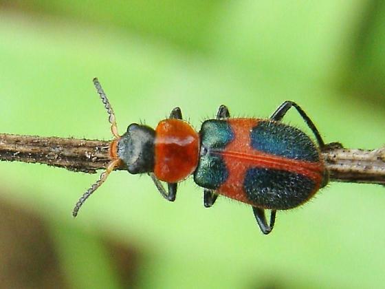 Collops quadrimaculatus? - Collops quadrimaculatus - female